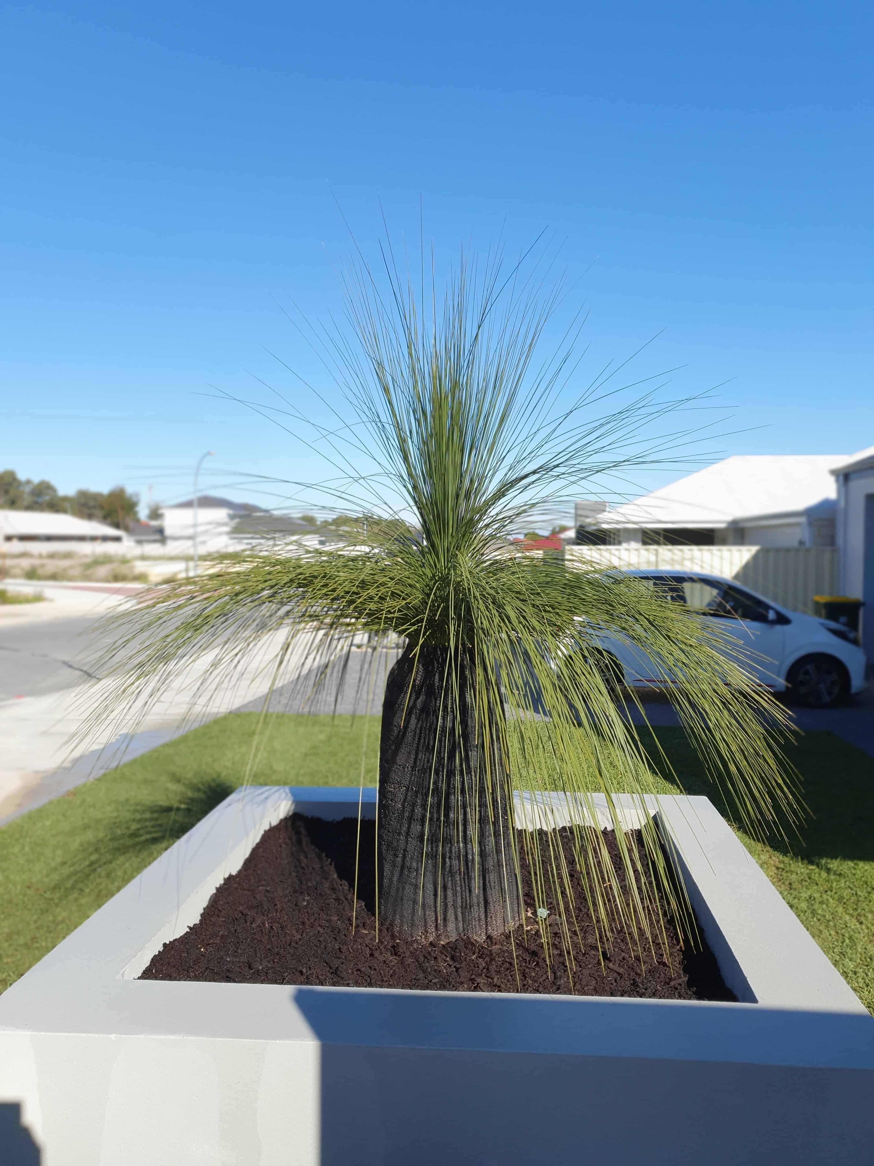 Grass Tree in Low Garden Bed Front Yard Landscape Idea